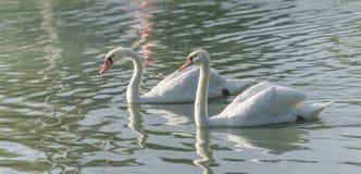 Белые пары безгласного лебедя & x28; Olor& x29 Cygnus; поплавайте вокруг их пруда на утре поздним летом в Онтарио, Канады Стоковое Изображение RF