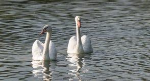 Белые пары безгласного лебедя & x28; Olor& x29 Cygnus; поплавайте вокруг их пруда на утре поздним летом в Онтарио, Канады Стоковая Фотография RF
