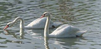 Белые пары безгласного лебедя & x28; Olor& x29 Cygnus; поплавайте вокруг их пруда на утре поздним летом в Онтарио, Канады Стоковое Фото