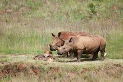 Белые пары носорога Стоковое Изображение RF