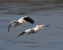 Белые пеликаны в полете Стоковые Фото