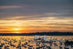Белые пеликаны на журнале на заходе солнца Стоковые Фотографии RF