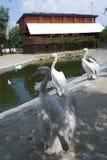 Белые пеликаны распространили их крыла Стоковое Изображение