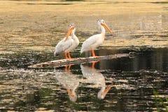 Белые пеликаны стоя на стволе дерева в озере Стоковые Фотографии RF