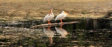 Белые пеликаны стоя на стволе дерева в озере Стоковое Изображение RF