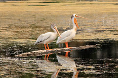 Белые пеликаны стоя на стволе дерева в озере Стоковая Фотография