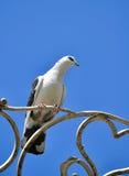 Белые посадочные места голубя на выкованном sighn сердца Стоковая Фотография RF
