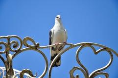 Белые посадочные места голубя на выкованном sighn сердца Стоковые Изображения RF
