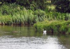 Белые птица цапли и дикие утки, Литва Стоковые Фото