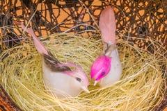 Белые птицы сидят в гнезде соломы Стоковое Фото