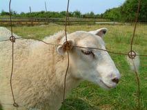 Белые пушистые овцы Стоковые Изображения