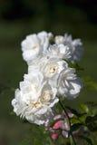 Белые розы лета Стоковые Изображения