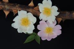 Белые розы на ветви с терниями на черной предпосылке Стоковое Фото