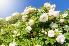Белые розы сада стоковое изображение
