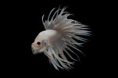 Белые рыбы betta crowntail Стоковая Фотография RF