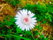 Белые сияющие розовые цветки Стоковое Изображение