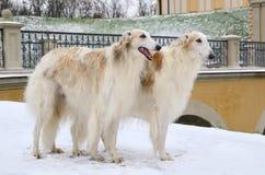Белые собаки borzoi Стоковое фото RF