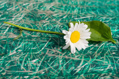 Белые стоцвет и подорожник Стоковая Фотография RF