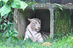 Белые тигр Бенгалии или пантера Тигр Тигр от семьи feli Стоковое Изображение RF