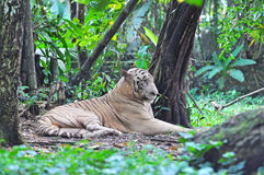 Белые тигр Бенгалии или пантера Тигр Тигр от семьи feli Стоковое фото RF