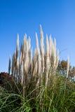 Белые тростники под голубым небом Стоковые Фотографии RF