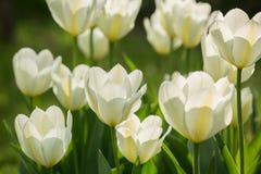 Белые тюльпаны в саде Стоковые Изображения RF