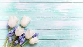 Белые тюльпаны и голубые цветки muscaries на свете - голубом деревянном b Стоковая Фотография RF