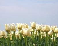 Белые тюльпаны свадьбы в конце вверх Стоковые Фотографии RF