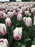 Белые тюльпаны с фиолетовыми нашивками Стоковые Фотографии RF