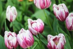 Белые тюльпаны с фиолетовыми самыми интересными стоковые изображения