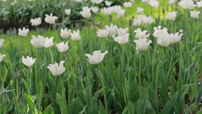 Белые тюльпаны дуя в ветре видеоматериал