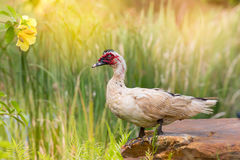 Белые утка и цветок стоковые фотографии rf