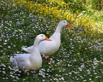 Белые утки в весеннем времени Стоковые Изображения