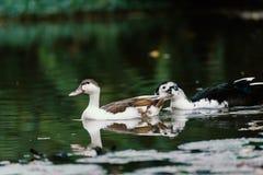 Белые утки в пруде Стоковые Фотографии RF