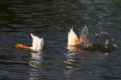 белые утки нырнули в воду с выплеском Стоковые Изображения