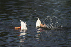 белые утки нырнули в воду с выплеском Стоковые Фотографии RF
