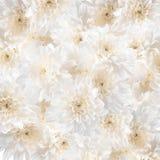 Белые хризантемы Стоковое Изображение