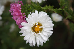 Белые хризантемы Стоковые Изображения