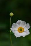 Белые цветение & бутон Стоковые Фотографии RF