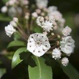 Белые цветения лавра горы Стоковые Изображения