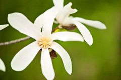 Белые цветения магнолии Стоковая Фотография RF