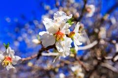 Белые цветения миндалины против голубого неба Стоковые Изображения RF