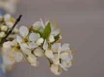 Белые цветения сливы на ветви с бутонами и листвой Стоковая Фотография RF