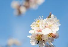 Белые цветения сливы Стоковое фото RF