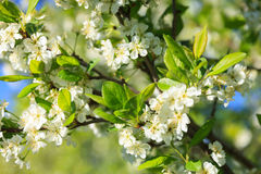 Белые цветения сливы Стоковое Фото