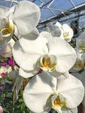 Белые цветения фаленопсиса Стоковые Изображения RF