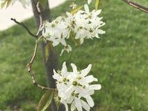 белые цветеня Стоковое Изображение