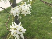 белые цветеня Стоковое фото RF