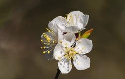 Белые цветки абрикоса на ветви с листьями Стоковое Изображение RF