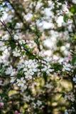 Белые цветки весны Стоковые Изображения